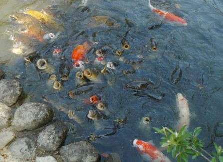 Hungry fish in Nara Botanical Garden